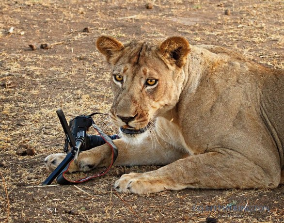A Lion Steals My Camera by Ed Hetherington