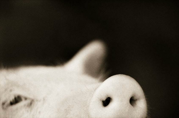 Domestic Pig - Sus scrofa domestica © Henry Horenstein