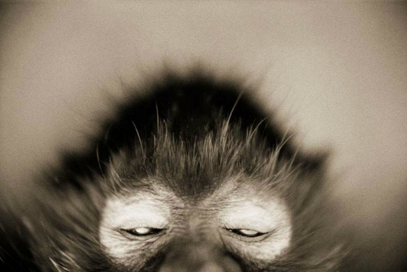 White-cheeked Spider Monkey—Ateles marginatus © Henry Horenstein