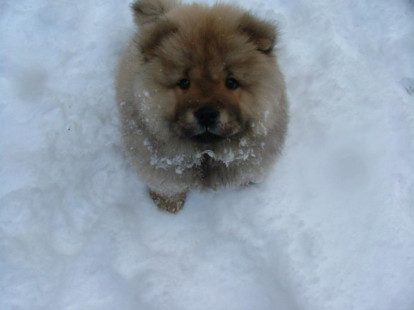 Chow Chow - https://imgur.com/gallery/430Ibsa