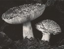 Edwars Weston, Toadstool, 1936 © 1981 Center for Creative Photography, Arizona Board of Regents