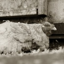 Rooster, Age Unknown_Gelatin-Silver Print 2009 © Isa Leshko