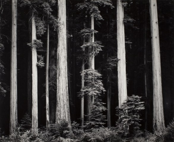 Ansel Adams Redwoods, Bull Creek Flat, Northern California, 1960 ca. stampa alla gelatina d'argento © 2012 The Ansel Adams Publishing Rights Trust Collezione Fondazione Cassa di Risparmio di Modena