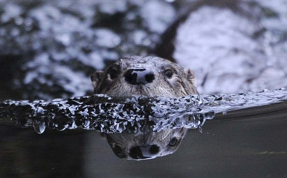 beaver swims, Zoo in Gelsenkirchen, Germany, 12 mar 2012, PATRIK STOLLARZ/AFP/Getty Images