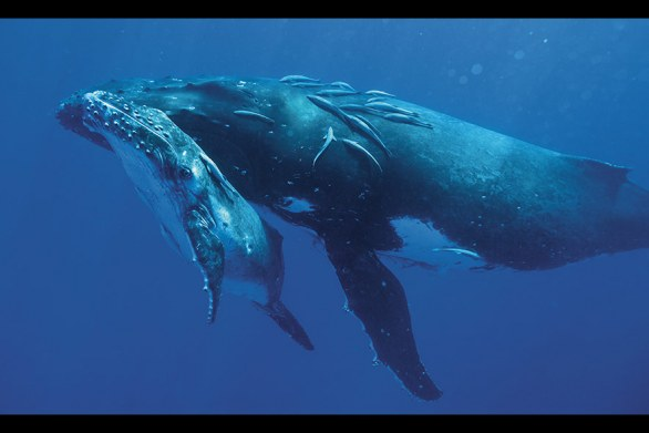 Humpback mother and calf  © Bryant Austin/Studio  Cosmos