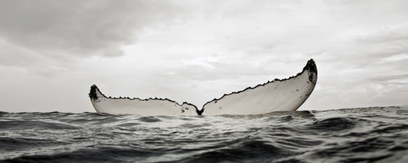 Humpback whale mother resting © Bryant Austin/Studio  Cosmos