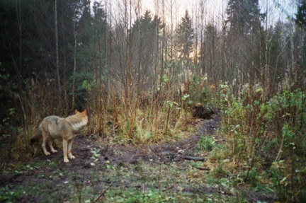 kimm_whiskie_wolf in the woods