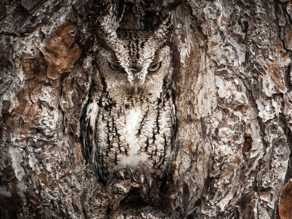 08 - Merit, Portrait of an Eastern Screech Owl by Graham McGeorge/National Geographic Traveler Photo Contest