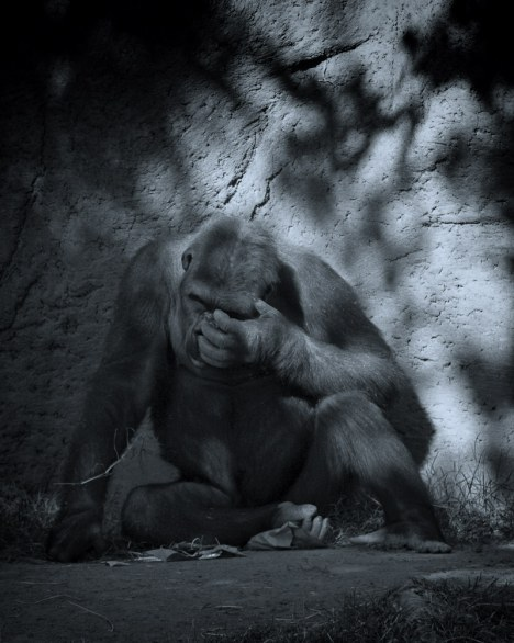 Carrie McCarthy, Gorilla Blues, Albuquerque Zoo, NM