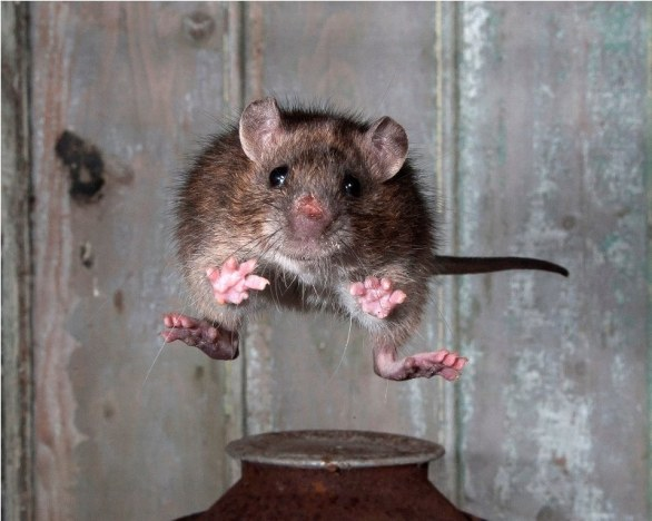 The Mammal Society 1st Place Winner - Jumping Rat by Roy Rimmer