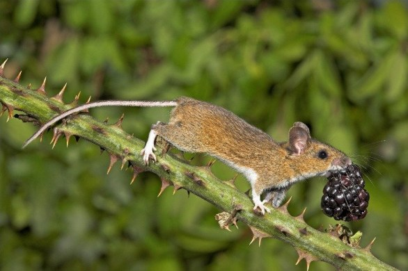 The Mammal Society 3rd Place Winner Wood Mouse with Blackberry by Gary Cox