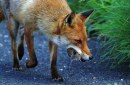 The Mammal Society, Fox with Lunch by David Gibbon