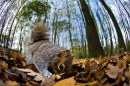 The Mammal Society, Grey squirrel searching for nuts by Mark Fox