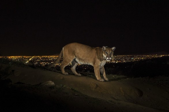 19 NATURE STORIES - Steve Winter, USA, for National Geographic Cougars © World Press Photo of the Year 2013